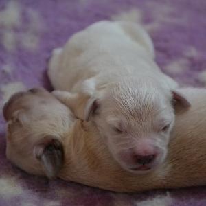 Cuccioli di Boule de Neige e Boucheron